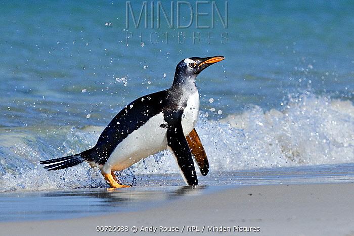 Gentoo penguin (Pygoscelis papua) surfing onto beach, Carcass Island, Falkland Islands.