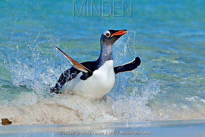 Gentoo penguin (Pygoscelis papua) surfing onto beach, Carcass Island, Falkland Islands.