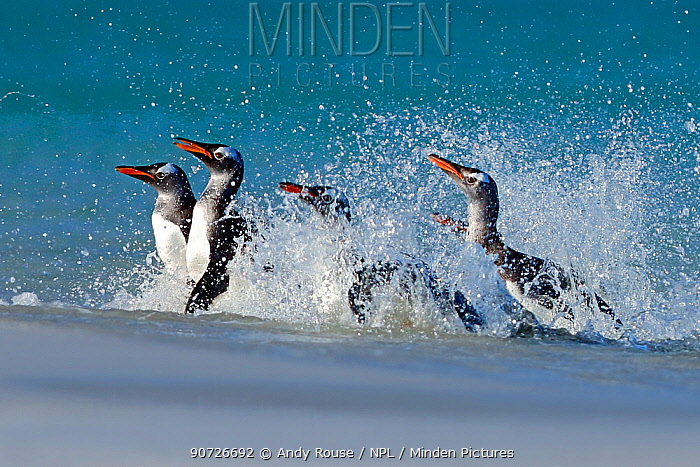 Gentoo penguins (Pygoscelis papua) surfing onto beach, Carcass Island, Falkland Islands.