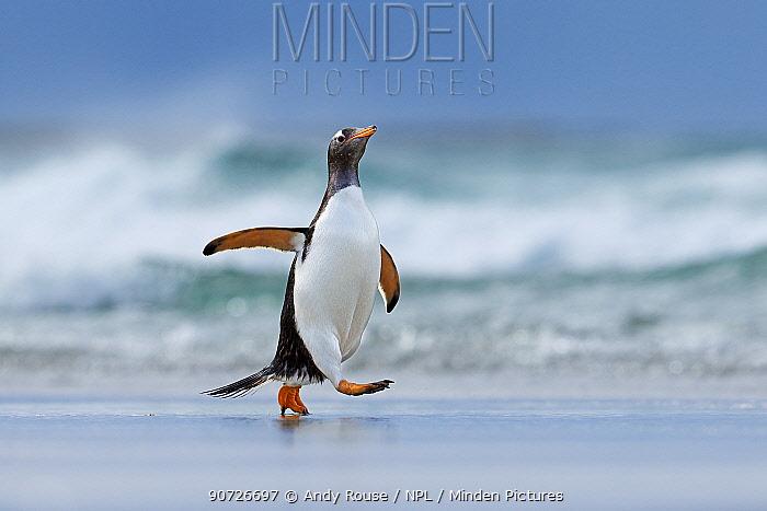 Gentoo penguin (Pygoscelis papua) walking on beach, Saunders Island, Falkland Islands.