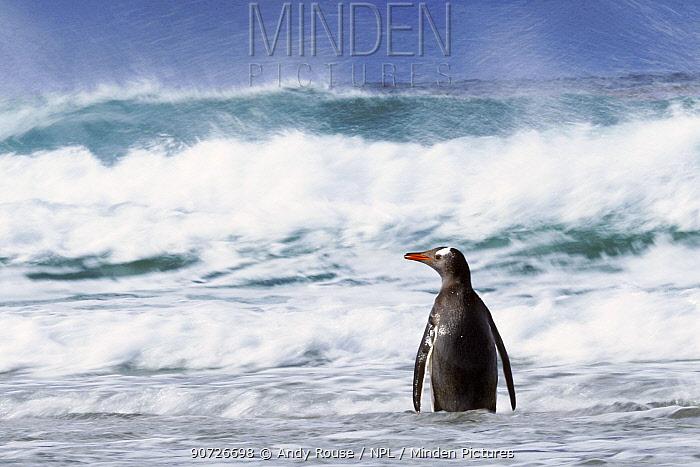 Gentoo penguin (Pygoscelis papua) in waves, Saunders Island, Falkland Islands.