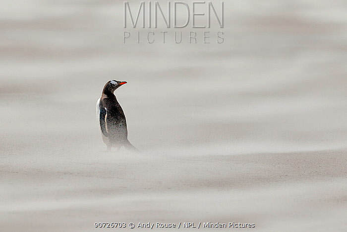 Gentoo penguin (Pygoscelis papua) in sandstorm on beach, Saunders Island, Falkland Islands.