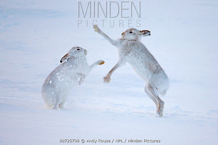 Mountain hares (Lepus timidus) boxing in snow, Scotland, UK, December.