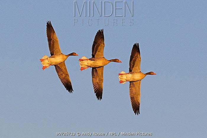 Greylag goose (Anser anser) group of three flying, Slimbridge Wildfowl and Wetland Trust, Gloucestershire, UK, December