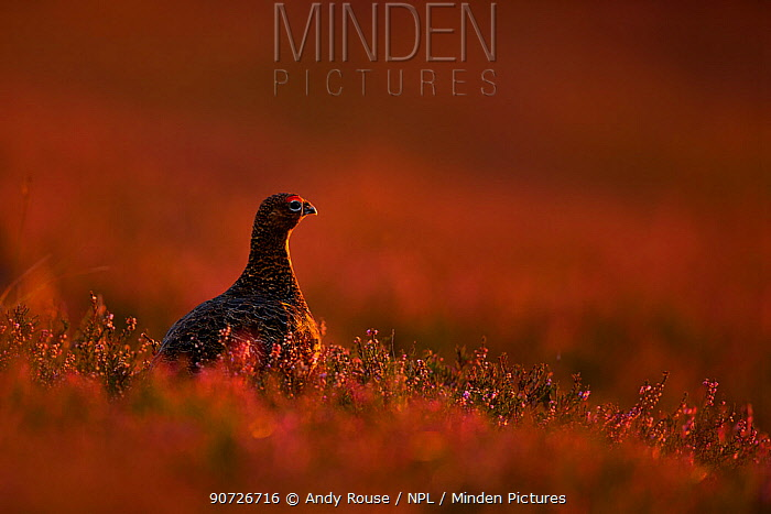 Red grouse (Lagopus lagopus scotica) on heather in sunset light, UK.