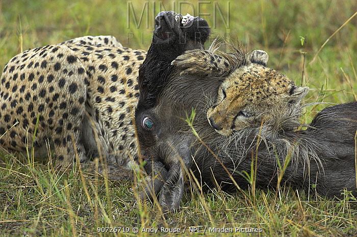 Cheetah (Acinonyx jubatus) male killing wildebeest, Masai Mara, Kenya