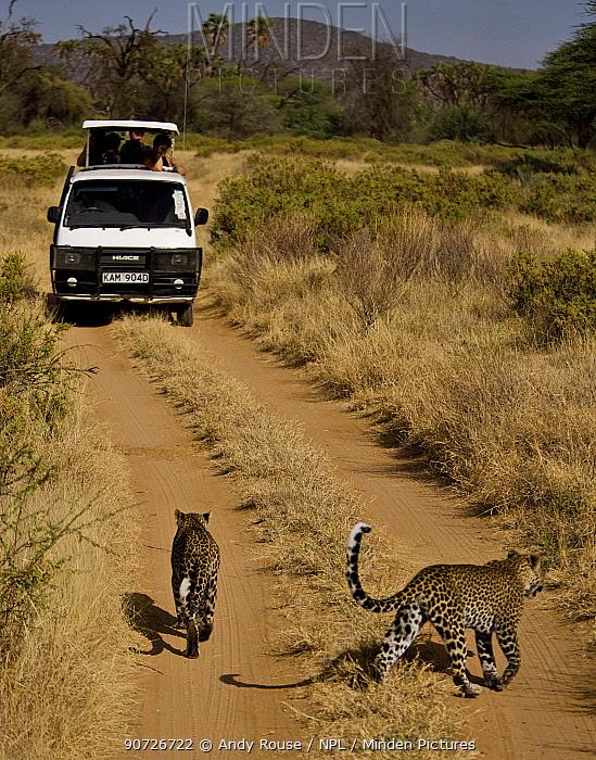 Two African leopards (Panthera pardus) walking along track in front of tourist vehicle Samburu, Kenya.