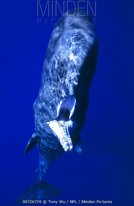 Sperm whale (Physeter macrocephalus) juvenile with fishing line and hook stuck in jaw. The hook had been attached for so long the wound had healed over, Ogasawara, Japan. September. Winner of the Grand Prize at The Blue Earth Underwater Photo Contest 2001.
