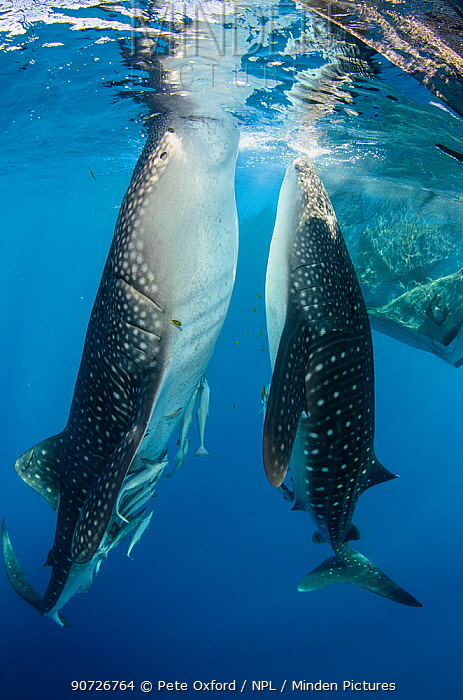 Whale sharks (Rhincodon typus) feeding at Bagan (floating fishing platform) Cenderawasih Bay, West Papua, Indonesia. Bagan fishermen see whale sharks as good luck and often feed them baitfish. This is now developing into a tourist attraction