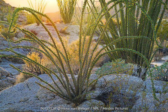 Ocotillo (Fouquieria splendens) in morning sun, Anza-Borrego State Park, California, USA February