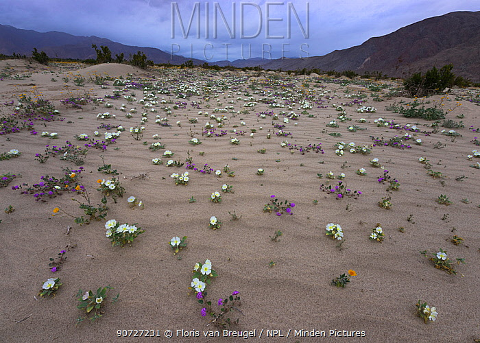Dune primrose, Sand verbena, and Desert gold emerge from the sand after brief spring rains in Anza-Borrego Desert State Park, California, USA March