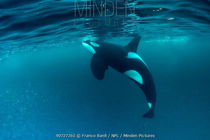 Killer whale (Orcinus orca) surfacing to breath whilst hunting herring fish (Clupea harengus), Andenes, Andoya island, North Atlantic Ocean, Norway, April