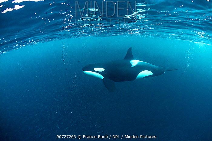 Killer whale (Orcinus orca) hunting for herring fish (Clupea harengus), Andenes, Andoya island, North Atlantic Ocean, Norway, April