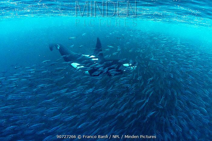 Killer whale (Orcinus orca) hunting inside herring baitball (Clupea harengus), Andenes, Andoya island, North Atlantic Ocean, Norway, April