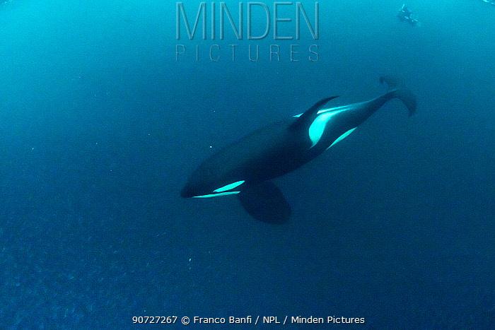 Killer whale (Orcinus orca) diving and hunting for herring fish (Clupea harengus), Andenes, Andoya island, North Atlantic Ocean, Norway, April