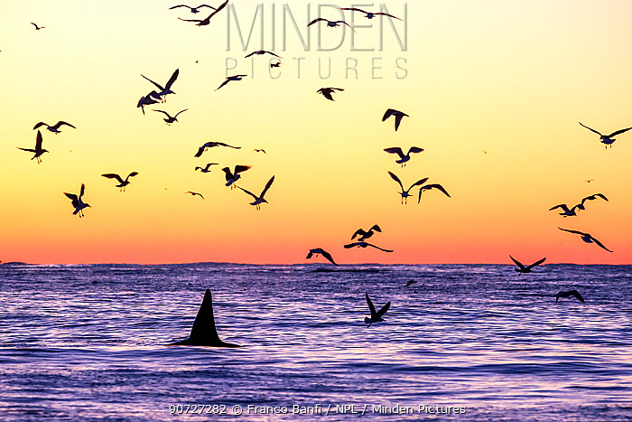 Killer whale (Orcinus orca) adult male surfacing at dusk surrounded by birds, who watch for herrings  (Clupea harengus) left after they have fed, Andenes, Andoya island, North Atlantic Ocean, Norway, January