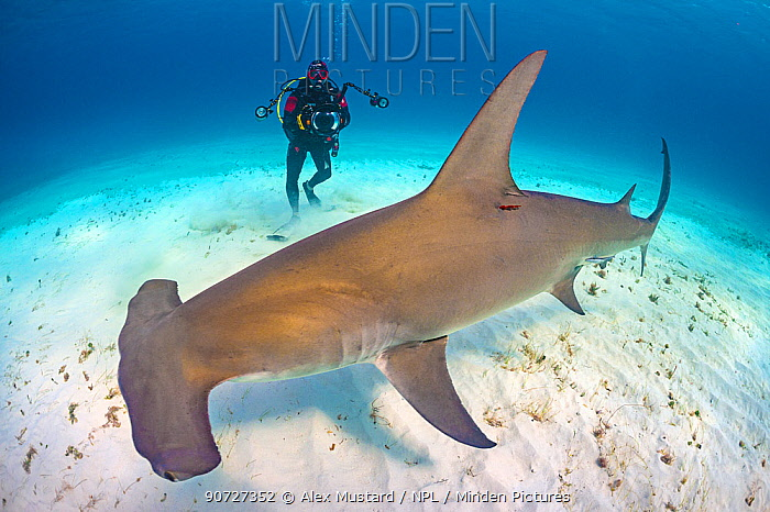 Diver (Predrag Vuckovic) is dwarfed by Great hammerhead shark (Sphyrna mokarran). This species can reach over 6m in length. South Bimini, Bahamas. The Bahamas National Shark Sanctuary. Gulf Stream, West Atlantic Ocean.