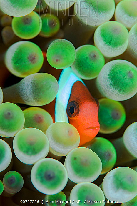 Red and black anemonefish (Amphiprion melanopus) in a Bulb tentacle sea anemone (Entacmaea quadricolor). Kri Island, Raja Ampat, West Papua, Indonesia, South East Asia. Dampier Strait, Tropical West Pacific Ocean.
