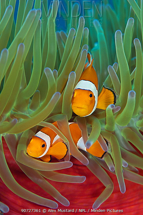 Western clownfish (Amphiprion oceallaris) in Magnificent sea anemone (Heteractis magnifica). Raja Ampat, West Papua, Indonesia.