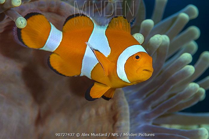 Western clownfish (Amphiprion oceallaris) in a Magnificent sea anemone (Heteractis magnifica). Yillet Kecil, MIsool, Raja Ampat, West Papua, Indonesia. Ceram Sea