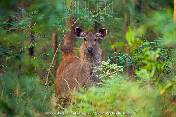 Sambar deer (Rusa unicolor) Satpura Tiger Reserve, India