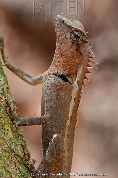 Jerdon's Forest Lizard (Calotes jerdoni). Trishna wildlife sanctuary, Tripura, India.