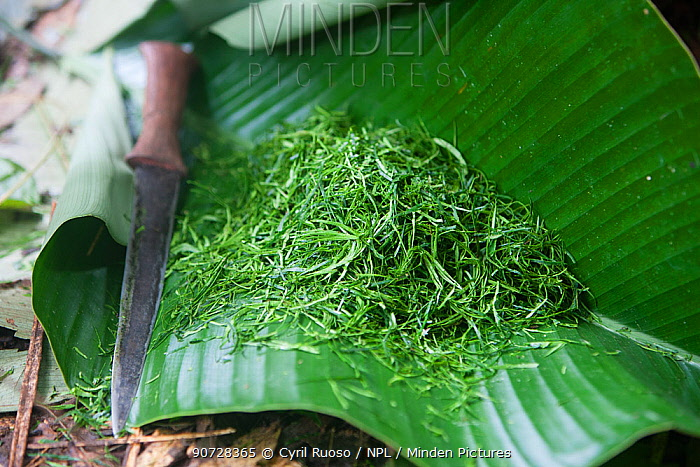"""Traditional Baka salad preparation, known as """"coco"""", leaves chopped up on large leaf, Cameroon, South East Cameroon, July 2008."""