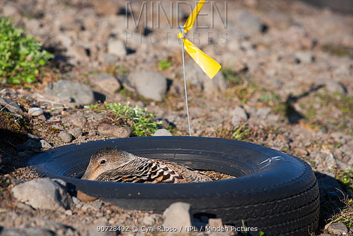 Female Common eider duck (Somateria mollissima) on artificial nest in tyre, aimed to protected the ducks from predators, Tannanes Farm, Onundarfjordur Fjord, Iceland, June.