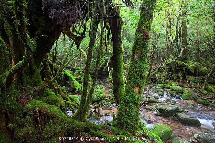 """Moss covered tree trunks by a stream in """"Mononoke Forest"""", a protected forest, Shiratani Unsuikyo Area, Yakushima Island, Japan, November."""