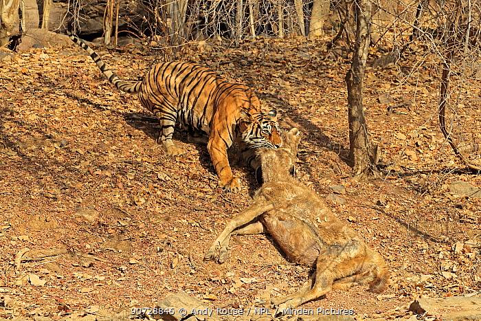 Bengal tiger (Panthera tigris tigris) female 'Noor T19' dragging Sambar deer (Rusa unicolor) into shade, Ranthambhore, India. Sequence 17 of 18.