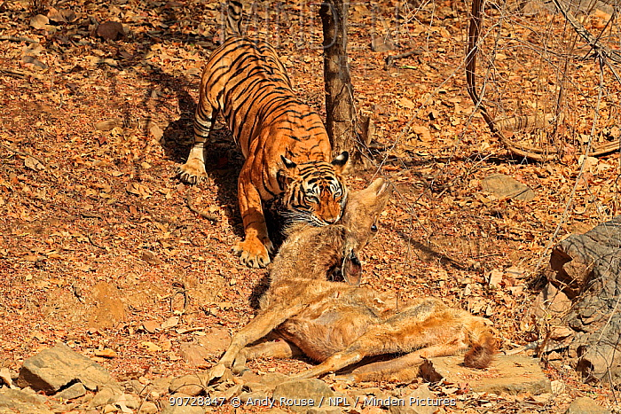 Bengal tiger (Panthera tigris tigris) female 'Noor T19' dragging Sambar deer (Rusa unicolor) into shade, Ranthambhore, India. Sequence 16 of 18.
