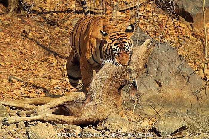 Bengal tiger (Panthera tigris tigris) female 'Noor T19' killing Sambar deer (Rusa unicolor) by strangulation. Ranthambhore, India. Sequence 15 of 18.