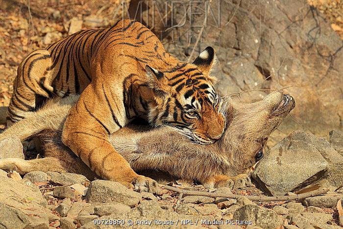Bengal tiger (Panthera tigris tigris) female 'Noor T19' killing Sambar deer (Rusa unicolor) by strangulation. Ranthambhore, India. Sequence 13 of 18.