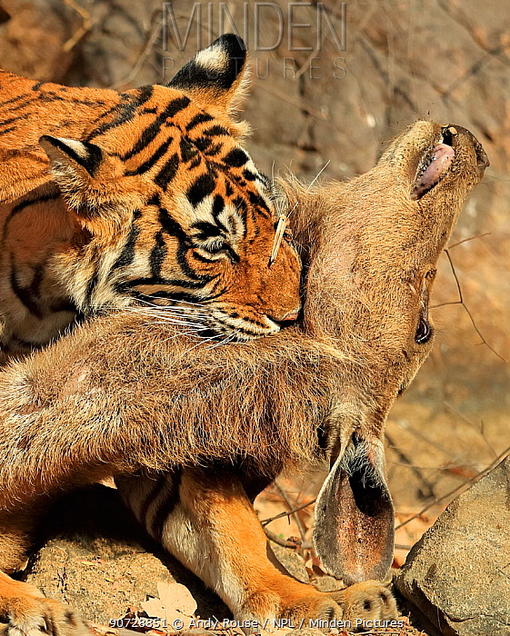 Bengal tiger (Panthera tigris tigris) female 'Noor T19' killing Sambar deer (Rusa unicolor) by strangulation. Ranthambhore, India.