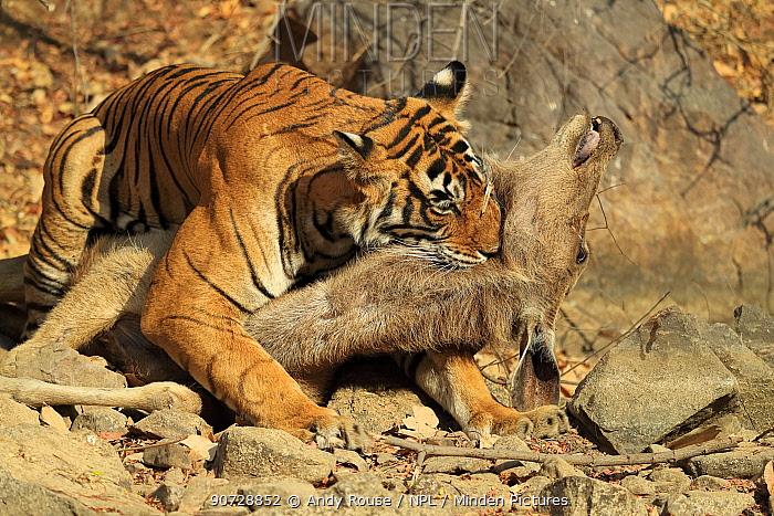 Bengal tiger (Panthera tigris tigris) female 'Noor T19' killing Sambar deer (Rusa unicolor) by strangulation. Ranthambhore, India. Sequence 12 of 18.
