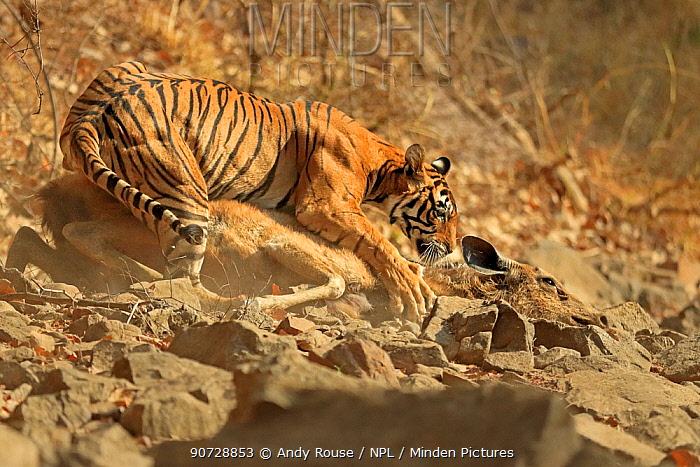 Bengal tiger (Panthera tigris tigris) female 'Noor T19' bringing down Sambar deer (Rusa unicolor) Ranthambhore, India. Sequence 11 of 18.