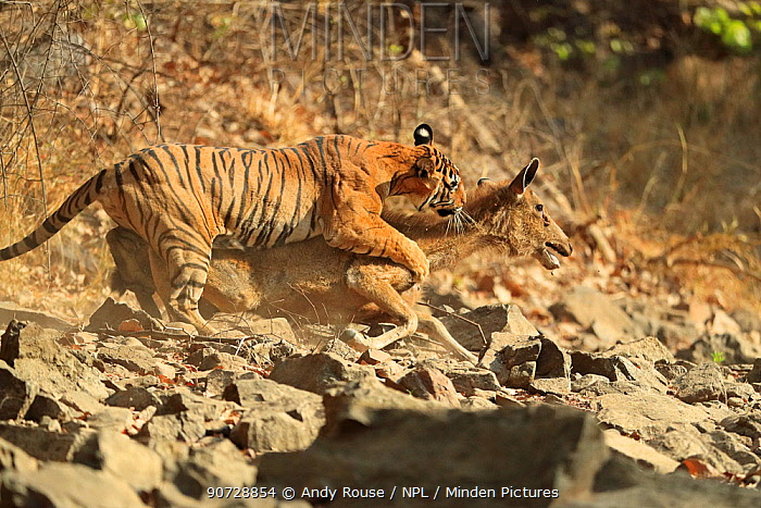 Bengal tiger (Panthera tigris tigris) female 'Noor T19' bringing down Sambar deer (Rusa unicolor) Ranthambhore, India. Sequence 10 of 18.