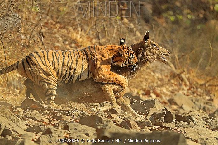 Bengal tiger (Panthera tigris tigris) female 'Noor T19' bringing down Sambar deer (Rusa unicolor) Ranthambhore, India. Sequence 9 of 18.
