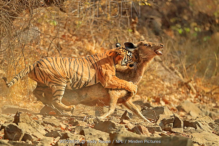 Bengal tiger (Panthera tigris tigris) female 'Noor T19' bringing down Sambar deer (Rusa unicolor) Ranthambhore, India. Sequence 8 of 18.