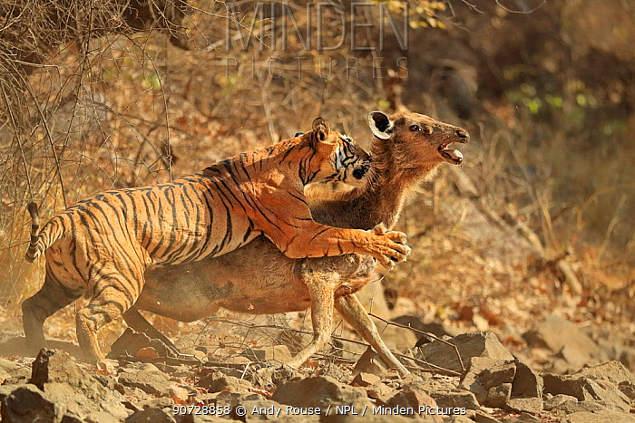 Bengal tiger (Panthera tigris tigris) female 'Noor T19' bringing down Sambar deer (Rusa unicolor) Ranthambhore, India. Sequence 6 of 18.