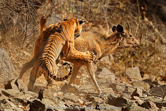 Bengal tiger (Panthera tigris tigris) female 'Noor T19' bringing down Sambar deer (Rusa unicolor) Ranthambhore, India. Sequence 3 of 18.