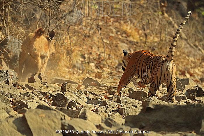 Bengal tiger (Panthera tigris tigris) female 'Noor T19' chasing Sambar deer (Rusa unicolor) Ranthambhore, India. Sequence 1 of 18.