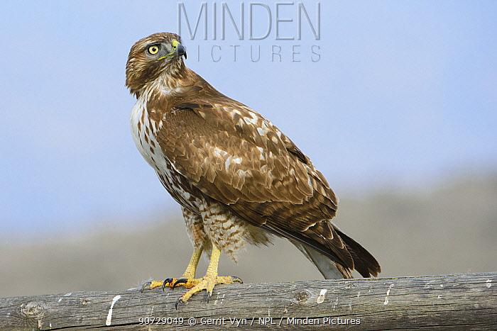 Red-tailed Hawk (Buteo jamaicensis) juvenile portrait, Canyon County, Idaho, USA February