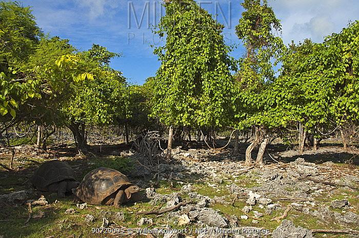 Aldabra Giant Tortoises (Aldabrachelys gigantea) in eroded coral landscape, Picard island, Natural World Heritage Site, Aldabra 2005