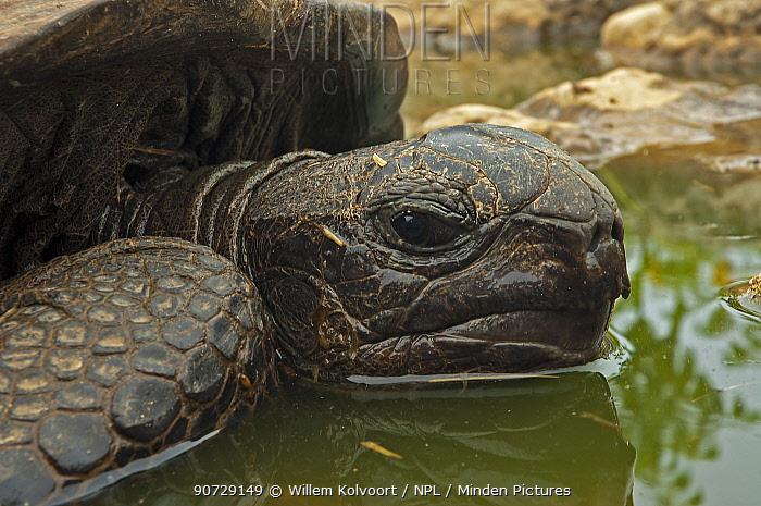 Aldabra Giant tortoise (Aldabrachelys gigantea) resting in a pool to keep cool, Grand Terre, Natural World Heritage Site, Aldabra