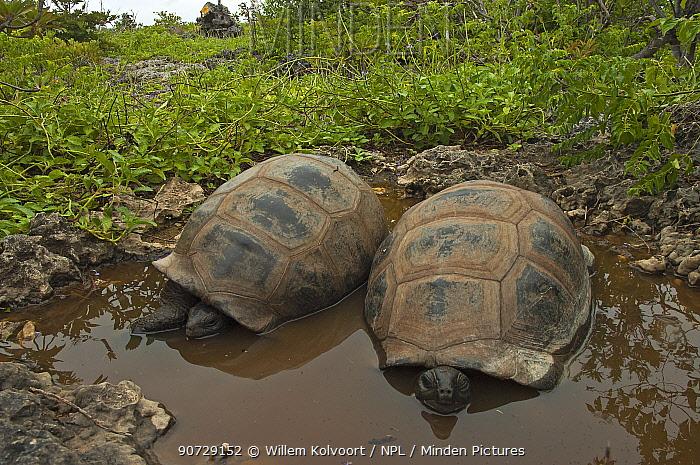 Aldabra Giant Tortoises (Aldabrachelys gigantea) two resting in a pool to keep cool, Grand Terre, Natural World Heritage Site, Aldabra