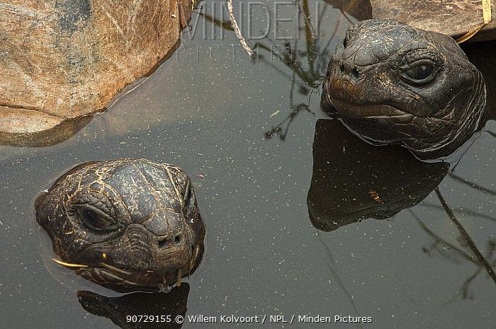 Aldabra Giant Tortoises (Aldabrachelys gigantea) resting in a pool to keep cool, Grand Terre, Natural World Heritage Site, Aldabra