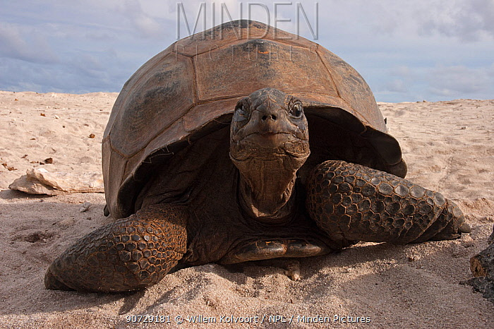 Aldabra Giant Tortoise (Aldabrachelys gigantea) portrait on beach, Grand Terre, Natural World Heritage Site, Aldabra