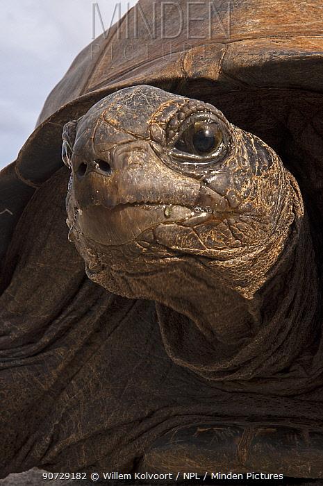 Aldabra Giant Tortoise (Aldabrachelys gigantea) head portrait, Grand Terre, Natural World Heritage Site, Aldabra