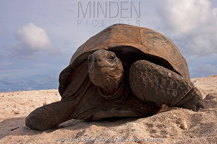 Aldabra Giant Tortoise (Aldabrachelys gigantea) portrait on beach, Grand Terre, Natural World Heritage Site, Aldabra